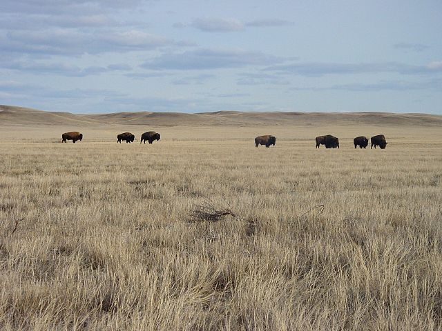 Bison at Grasslands National Park by 1brettsnyder from Wikimedia Commons